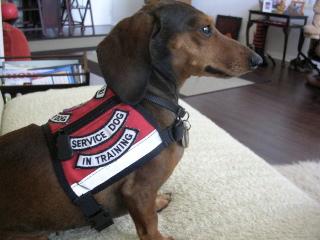 Dachshund dog wearing a service vest.